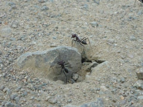 180426130001 1 540x360 - Navigating with the sixth sense: Desert ants sense Earth's magnetic field