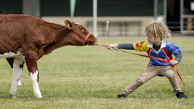 1530254418667 - Cattle disease Mycoplasma bovis putting dampener on children's lamb and calf days